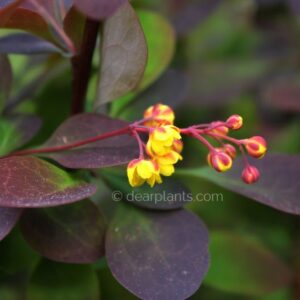 Berberis x ottawensis f. purpurea 'Superba' (Barberry Superba) flower