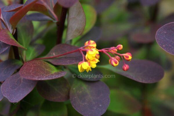 Berberis x ottawensis f. purpurea 'Superba' (Barberry Superba) flower