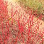 Cornus (Dogwood) sidewalk - dearplants.com