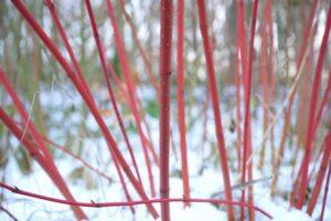 Cornus (Dogwood) stem colors in winter snow - dearplants.com