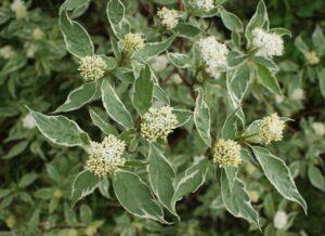 Cornus alba 'Elegantissima' (Variegated Red Twig Dogwood)