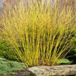 Cornus alba 'Flaverimea' - Yellow twig dogwood shrub
