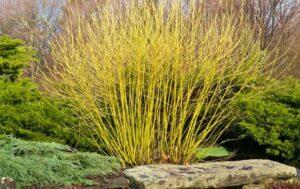 Cornus alba 'Flaverimea' - Yellow twig dogwood shrub