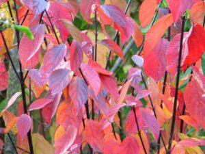 Cornus alba 'Kesselringii' (White dogwood 'Kesselringii') autumn leaves