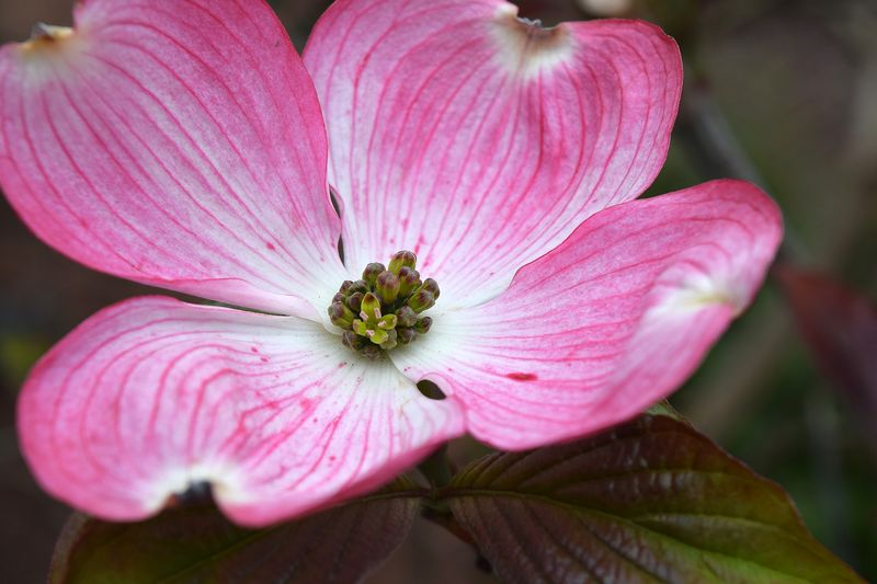 Cornus florida f. rubra (Flowering Dogwood) - dearplants.com