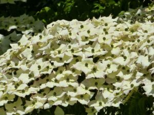 Cornus kousa (Kousa Dogwood) flowers