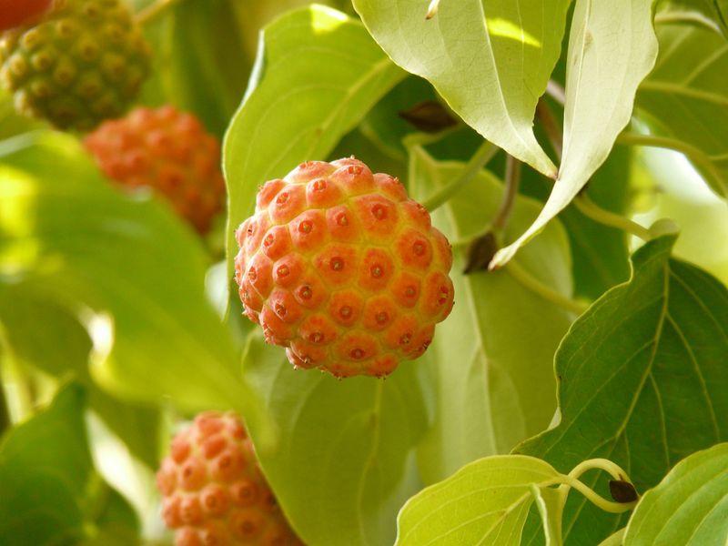 Cornus kousa (Kousa Dogwood) fruits