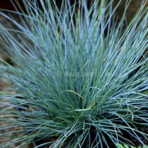 Festuca glauca (Blue fescue) Summer color