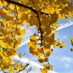 Ginkgo biloba (Maidenhair tree) autumn leaves - dearplants