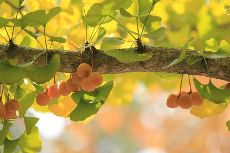 Ginkgo biloba (Maidenhair tree) fruits - dearplants