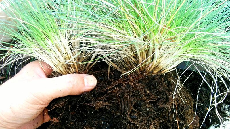 How to divide blue fescue (Festuca glauca)
