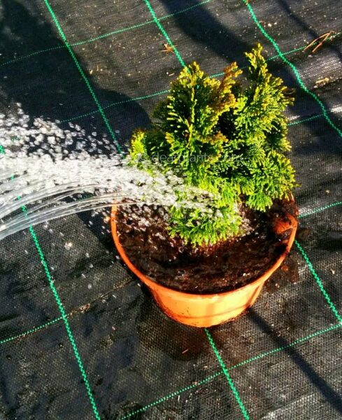 How to plant - Watering the plant