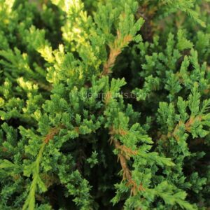 Juniperus horizontalis 'Prince of Wales' (Pince of Wales Juniper)