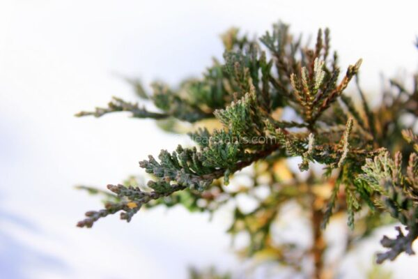 Juniperus horizontalis 'Wiltonii' (Creeping Juniper 'Wiltonii', Blue Rug Juniper)