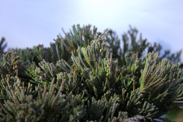 Juniperus horizontalis 'Wiltonii' (Creeping Juniper 'Wiltonii', Blue Rug Juniper) grey leaves