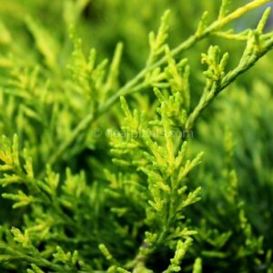 Juniperus media 'Old Gold' (Old Gold Juniper)