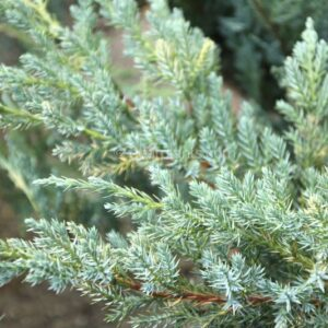 Juniperus squamata 'Blue Carpet' (Flaky Juniper 'Blue Carpet') blue leaves