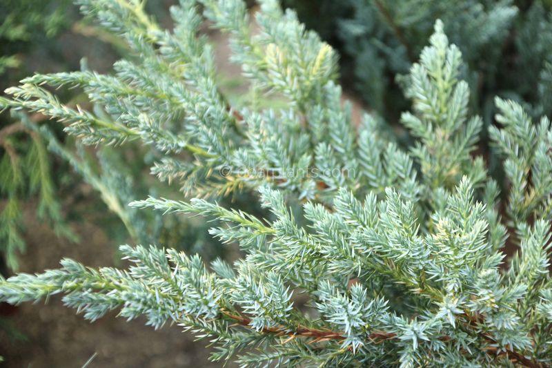 Juniperus squamata 39 blue carpet 39 flaky juniper 39 blue carpet 39 dear plants - Juniperus squamata blue carpet ...