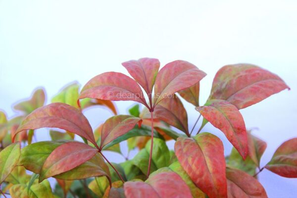 Nandina domestica 'Fire Power' (Heavenly Bamboo 'Fire Power')