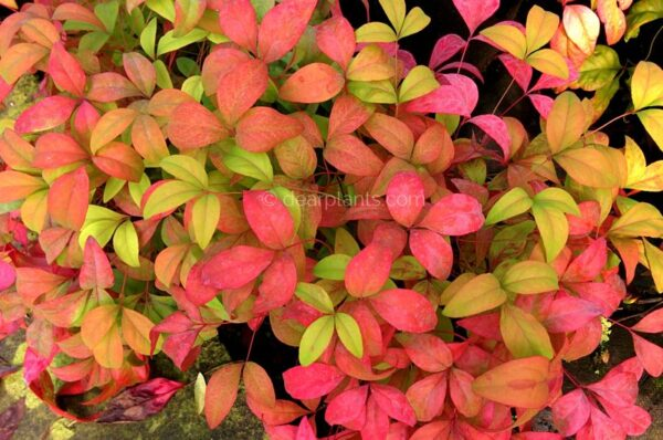 Nandina domestica 'Fire Power' (Heavenly Bamboo 'Fire Power') pink leaves