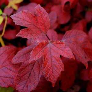 Viburnum opulus (Guelder Rose) autumn red leaves