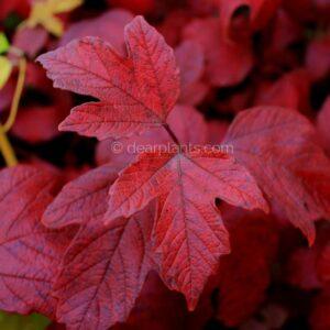 Viburnum opulus (Guelder Rose) autumn red leaves