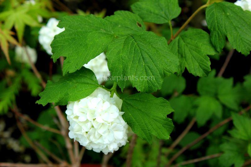 Viburnum Opulus Guelder Rose