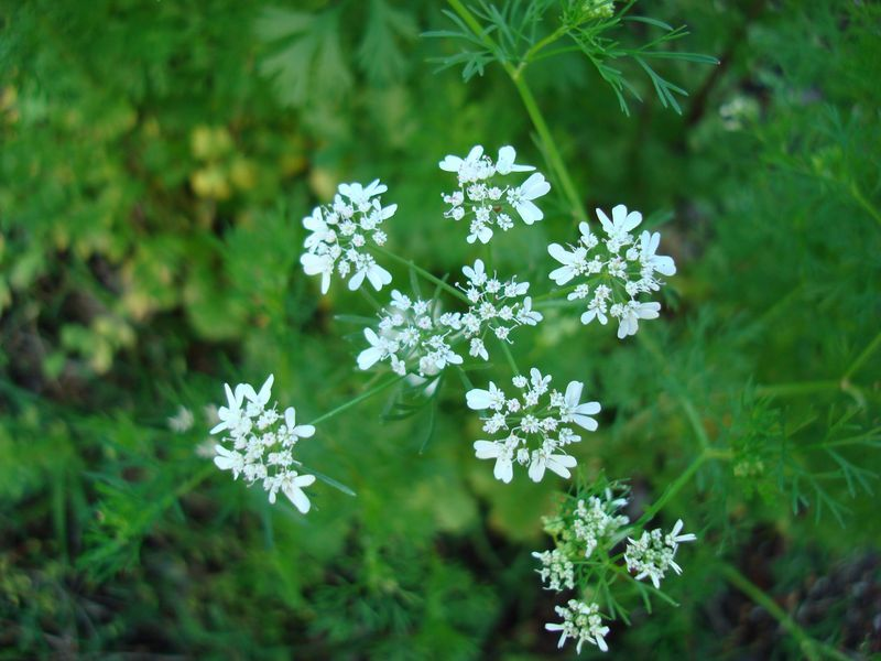 Coriandrum sativum (Coriander) - white flowers