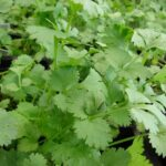 How to plant coriander herb (Coriandrum sativum)