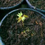 How to pot japanese maples grown from seed - little japanese maple in the new pot