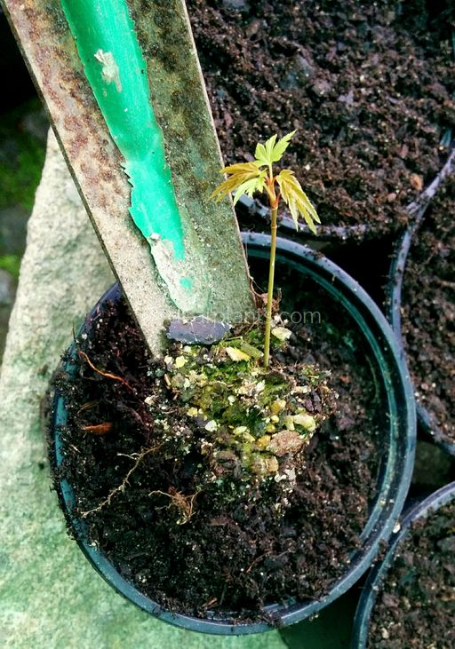 How to pot japanese maples grown from seed - plant the seedling