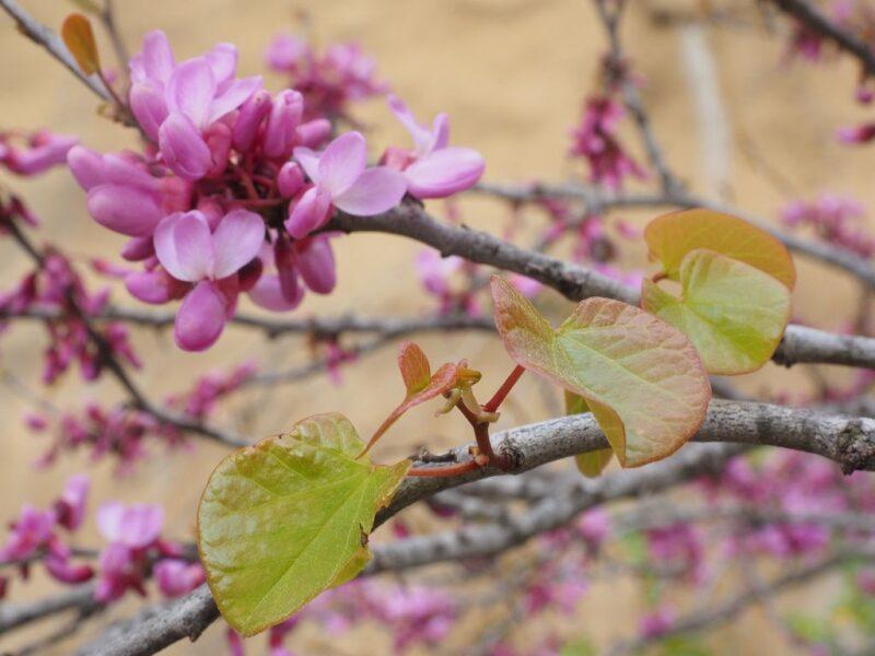 Judas tree pink flowers