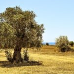 Olea europaea (Common olive) - how to plant in the garden