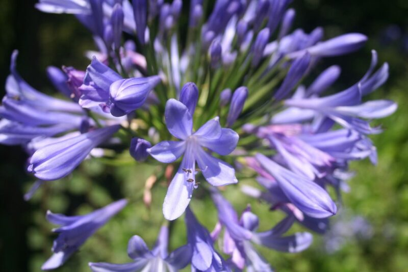 Agapanthus africanus (African blue lily) - blue flower