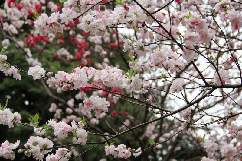 Blossoming season of cherry trees