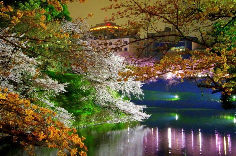 Chidorigafuchi - Tokyo Hanami cherries in flower