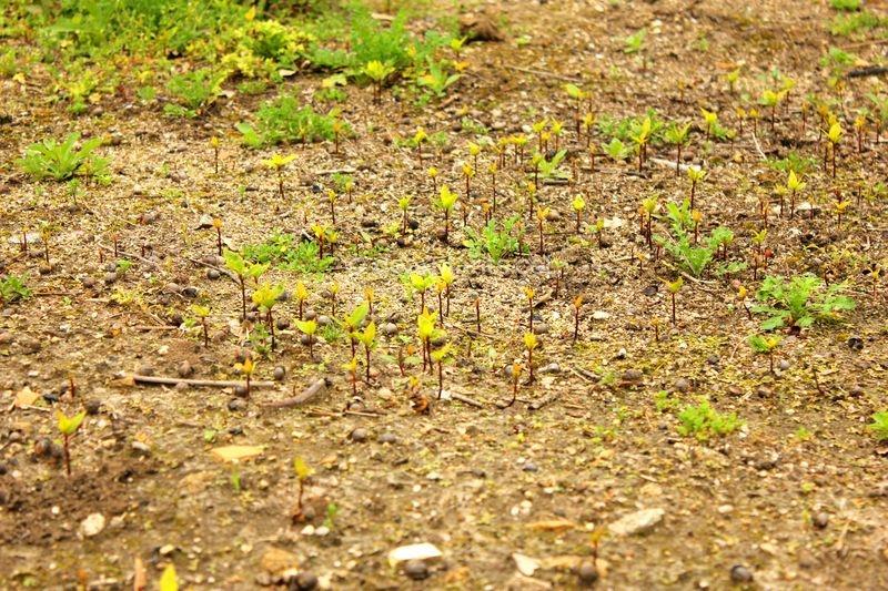 How to grow bay leaf tree from seed (Laurus nobilis) - Dozens of laurel seedlings