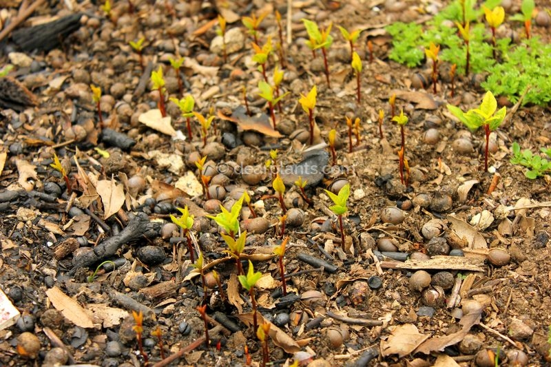 How to grow bay leaf tree from seed (Laurus nobilis) - growing in the ground