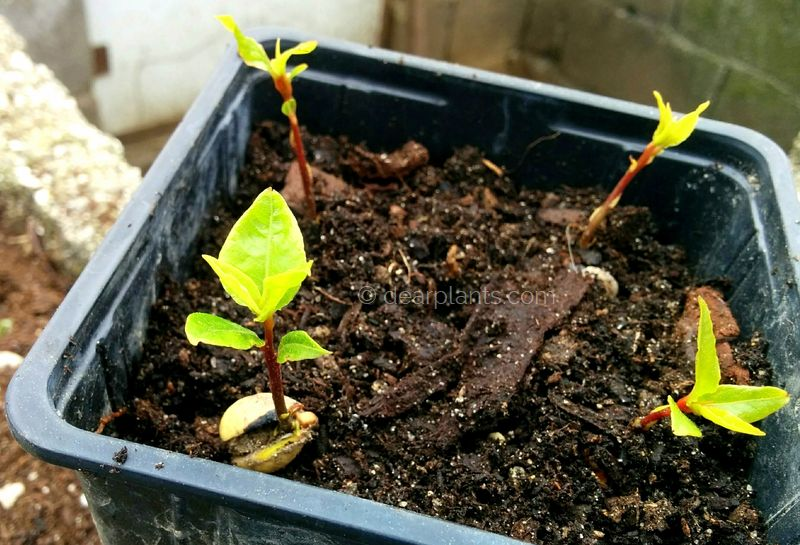 How to grow bay leaf tree from seed (Laurus nobilis)