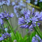 How to plant Agapanthus africanus (African blue lily)