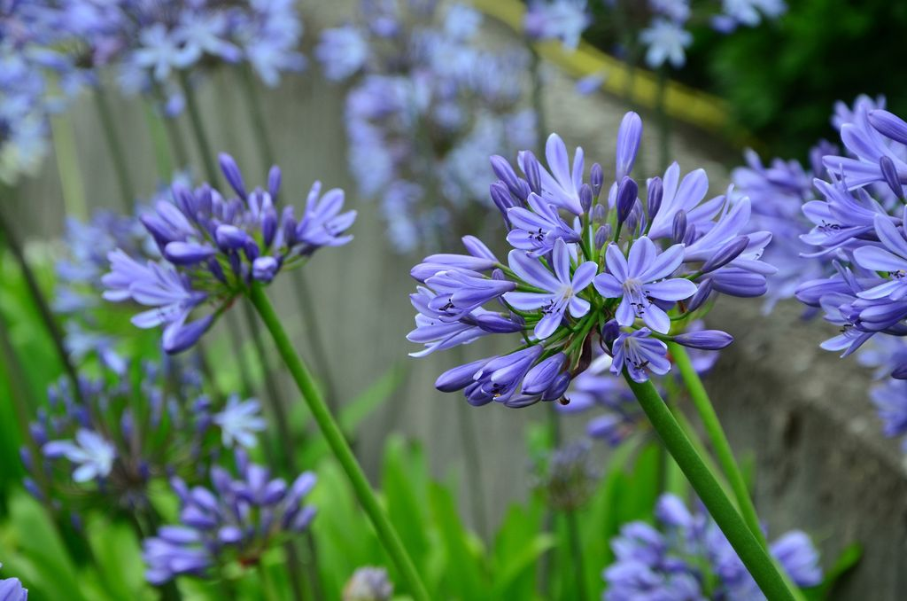 Picture of Live African blue lily aka Agapanthus africanus blue Shrubs Plant Fit 5 Gallon Pot