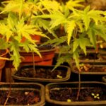 How to successfully grow japanese maples from seed