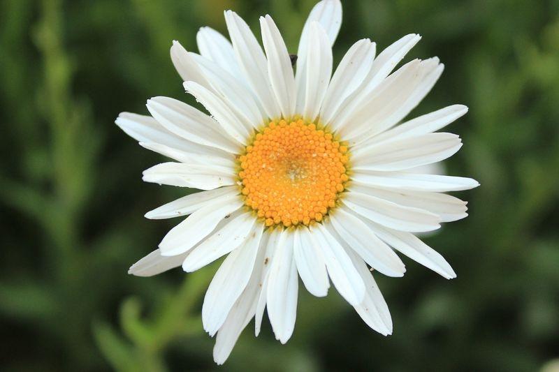 Chamaemelum nobile (Roman chamomile) - Chamomile flower