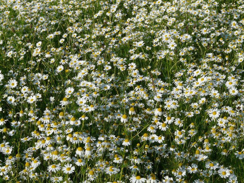 Chamaemelum nobile (Roman chamomile) - lawn
