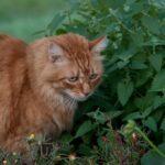 How to plant Nepeta cataria (Catnip)