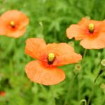 Papaver rhoeas (Common Poppy) flowers