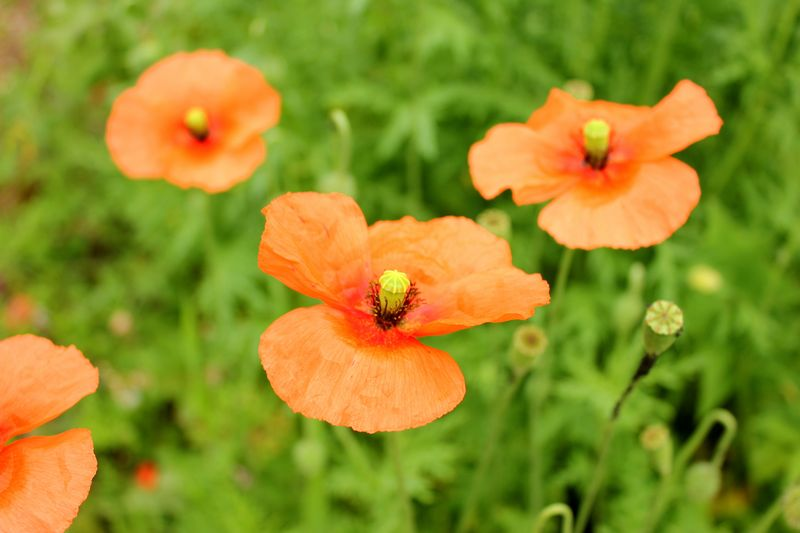 Papaver rhoeas (Common Poppy) flowers
