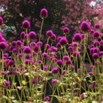 Gomphrena globosa (Globe amaranth) - how to plant