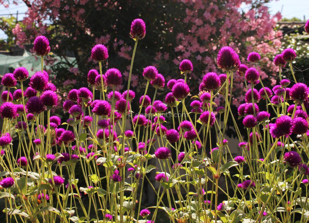 Gomphrena globosa (Globe amaranth) - how to plant