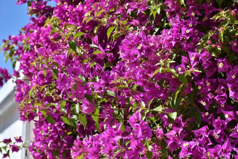 bougainvillea-climber-dear-plants